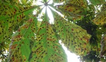 Zieke kastanjebladeren