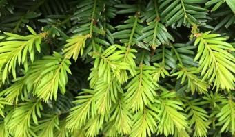 Taxus plant
