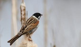 IVN-vogelkijkwandeling Zaanse Rietveld
