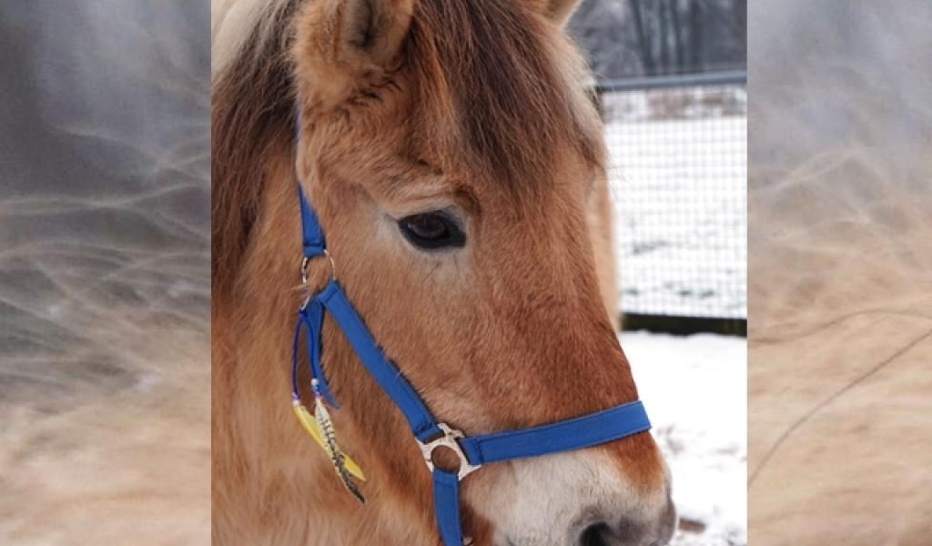 Draaiorgelpaard Nelis op 35-jarige leeftijd overleden