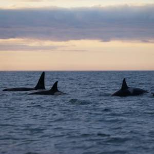 Orka's, potvissen en ander groot spul