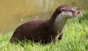 Maat zoekt geld voor onderdoorgang voor otters