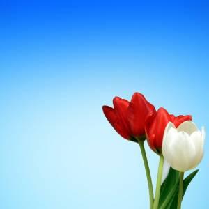 tulips-65036_1280.jpg