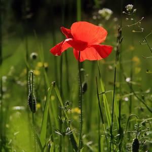 poppy-3137588_960_720.jpg