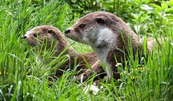 Otters in gemeente Alphen aan den Rijn