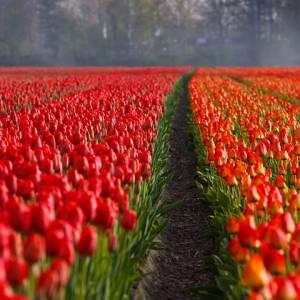 tulips-21690_960_720.jpg