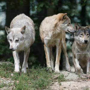 timber-wolves-907680_960_720-2.jpg
