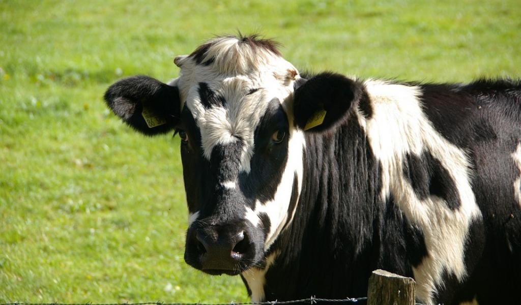 cow-234835_960_720.jpg