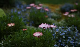 chrysanthemum-4143241_960_720.jpg