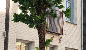 Boom vol wespen op de Hooftstraat