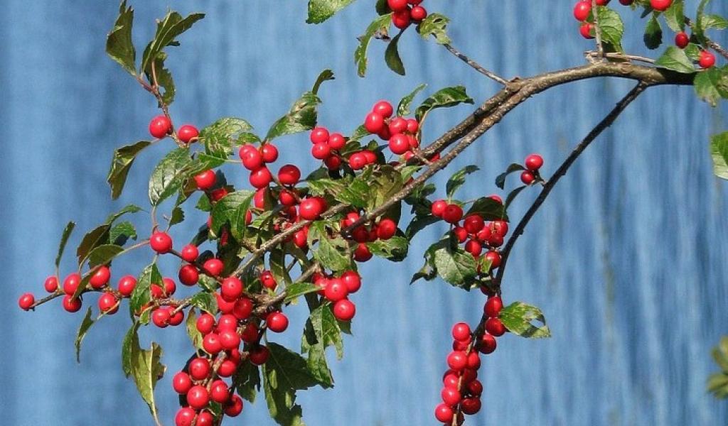 winterberry-1880817_960_720.jpg