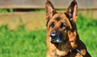 schafer-dog-3835118_1920.jpg