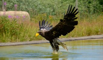 Stellers zeearend vogel natuur